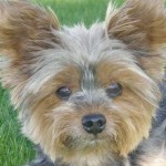 [Toby the Yorkie]