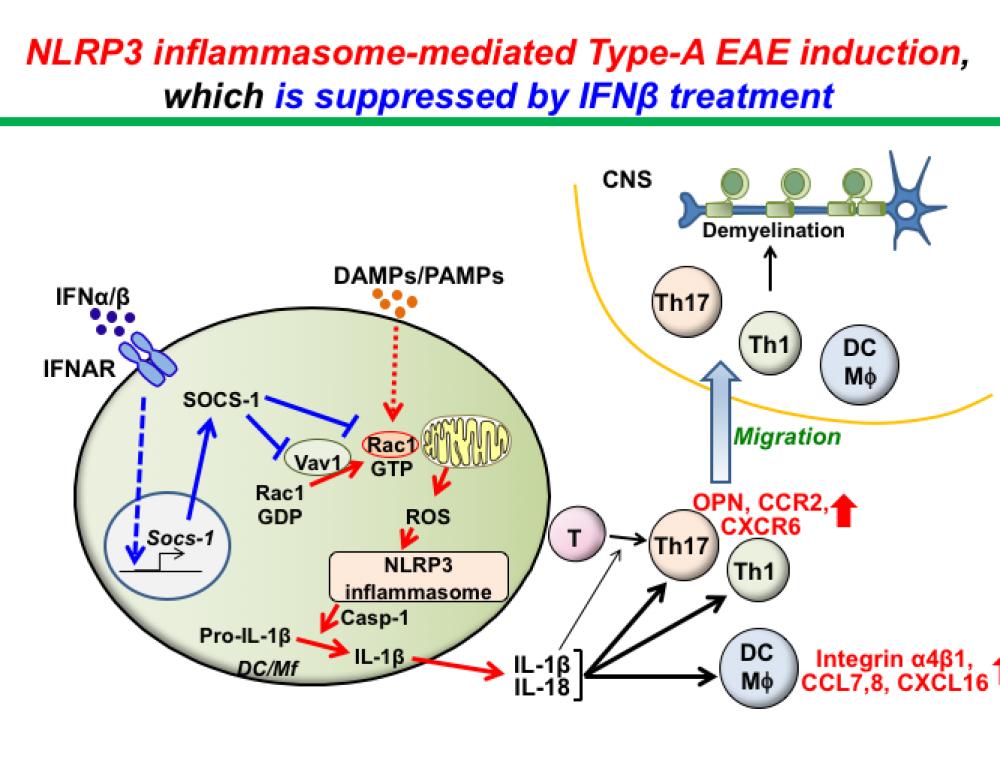 Molecular mechanisms involving development of MS heterogeneity using EAE