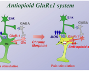 Anti-opioid system in opioid tolerance and addiction.