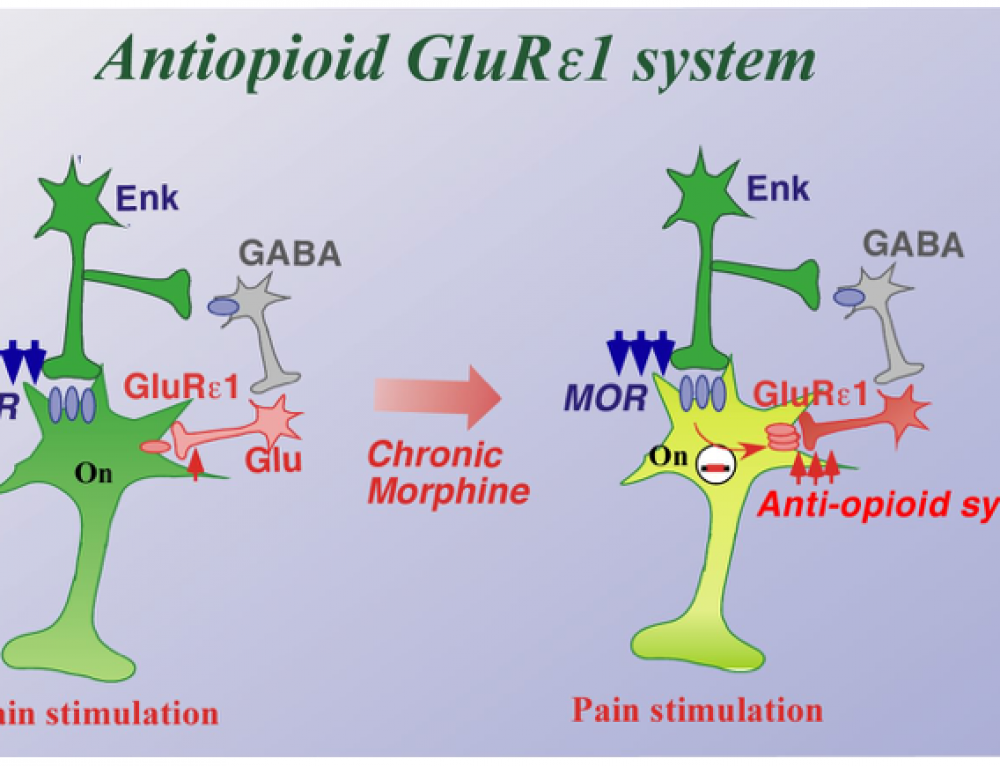 Molecular mechanisms on opioid addiction/tolerance and anti-opioid system