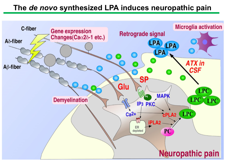 The de novo synthesized LPA induces neuropathic pain