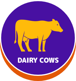 Dairy cows - button
