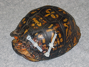 Injured Turtle