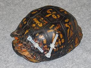 Injured Turtle