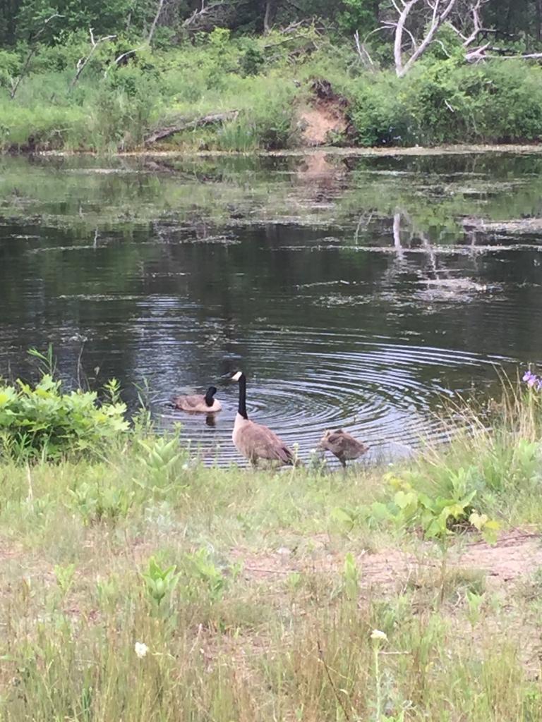 A Canada goose family takes a dip