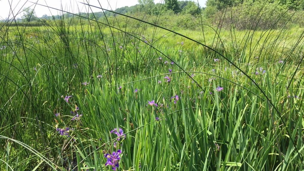 Purple irises in boom