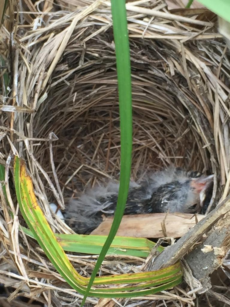 The nestling inside the nest