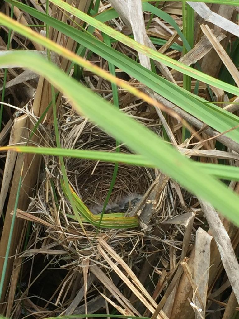 Bird's nest propped up between reeds