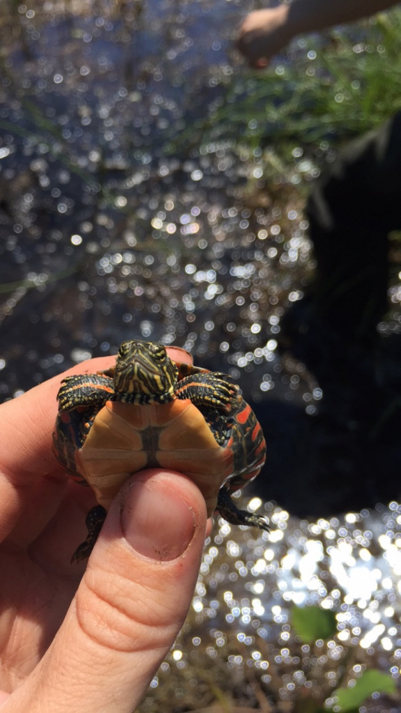 An itty bitty painted turtle hatchling, likely 1-2yrs old
