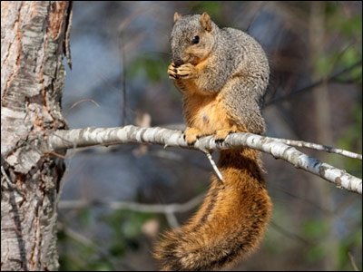 wildlife encounters natural history of the fox squirrel