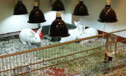 [Rabbits under UVB lamps]