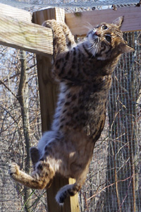 bobcat in enclosure