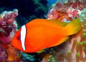 [clownfish]