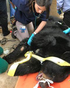 [Gabriela Escalante examines an American black bear]