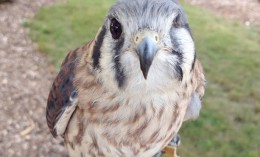 [Thistle the American kestrel]