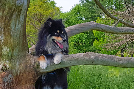 [Toby the Finnish lapphund had a laryngeal web]