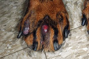 Treatment Options for Dog's Foot Sores - Veterinary Medicine