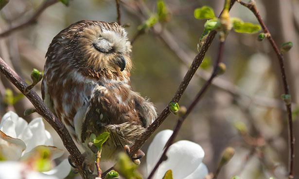 [Noel was a saw-whet owl]
