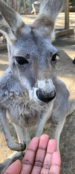 [kangaroo]