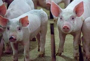 [pigs]