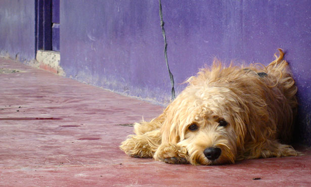 [scruffy dog chained alone on concrete alleyway]