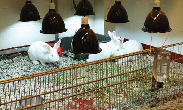 [three white domestic rabbits in a pen under six UV lights]