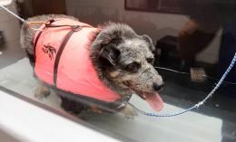 [small dog in floatation jacket in underwater treadmill]