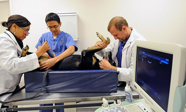[Veterinarians perform an ultrasound exam on a dog]