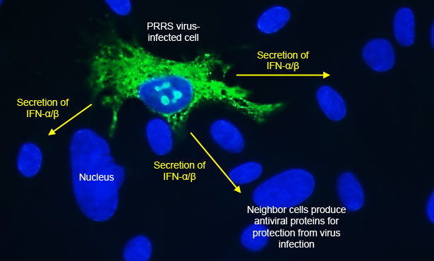 [slide showing infected cell producing interferons]