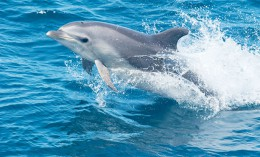 [swimming dolphin]