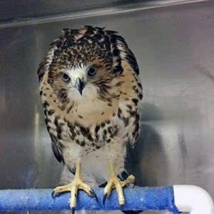 [red-tailed hawk in hospital]