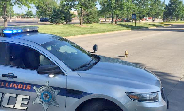 [hawk on road with U of I police car]