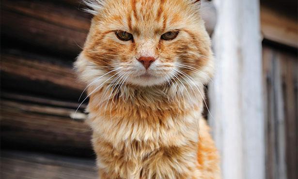[skinny orange cat]