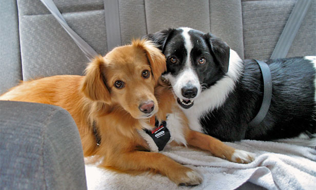 [two dogs wearing harnesses in back seat of car]