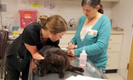 [a veterinarian and technician draw blood from a cat]