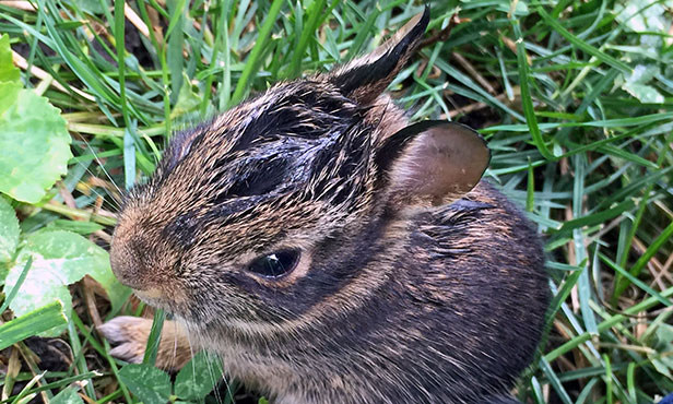Tularemia Infects People, Pets: Veterinary Medicine at Illinois