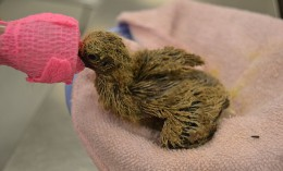 [baby dove recovering in Wildlife Medical Clinic]