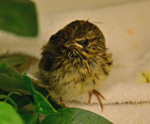 [recovering song sparrow]