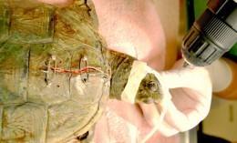 Turtle Fractures