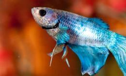 [blue betta fish with orange background]