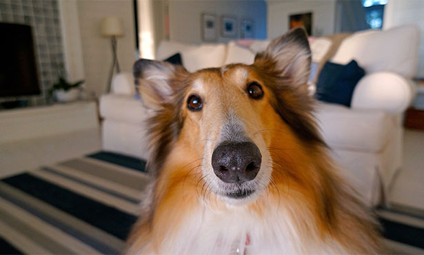 [closeup of a collie by a couch]