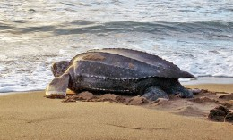 [female leatherback sea turtle on the beach]