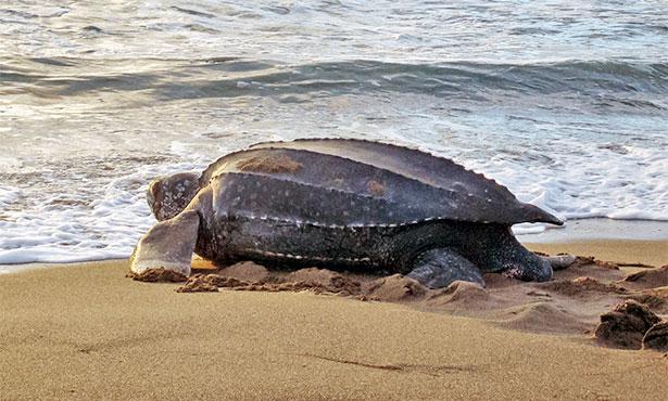 [female leatherback sea turtle on the beach]