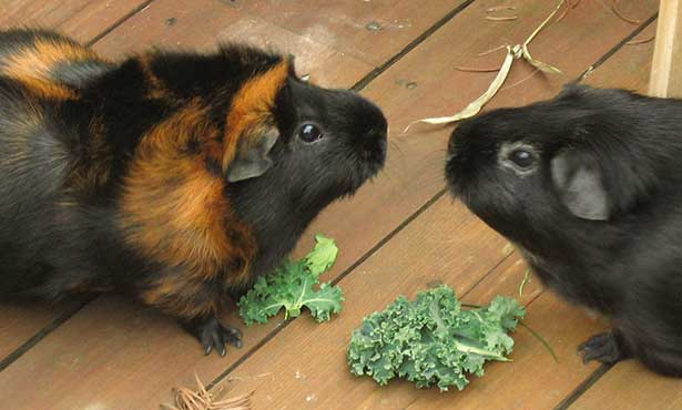 [two guinea pigs]