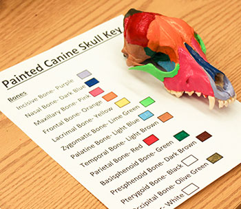 Dog skull with key to identifying bones by color.