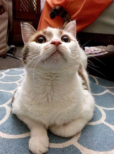 [white cat up for adoption]