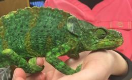 [Meller's chameleon after surgery]