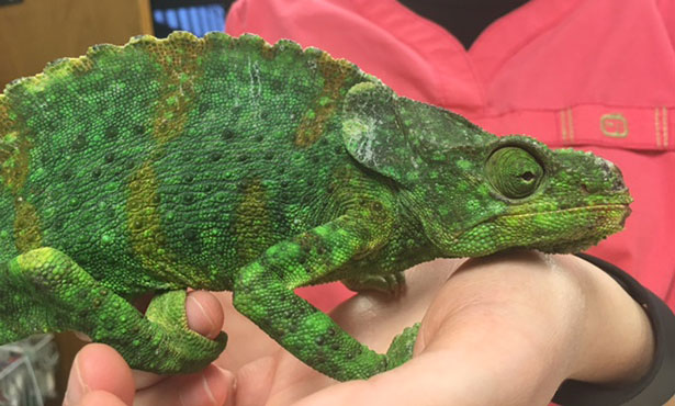 [Meller's chameleon after surgery]