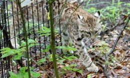 [recovered bobcat released in Indiana]