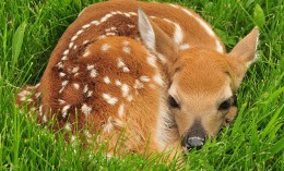[white-tailed deer fawn in grass]